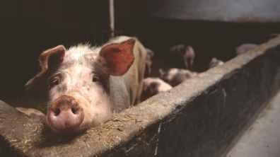 farm scene pig
