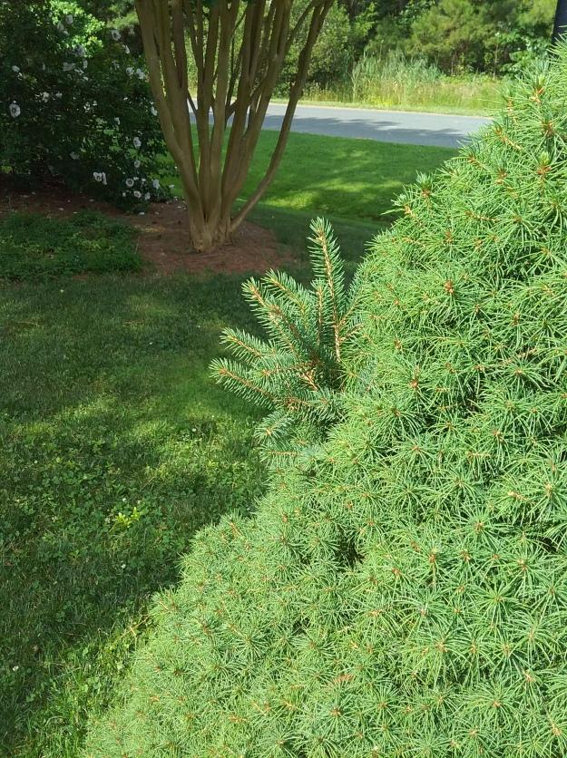 dwarf spruce1
